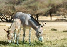 The family of Somali wild donkey (Equus africanus) Royalty Free Stock Photos