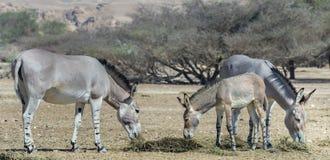 Family of Somali wild donkey (Equus africanus) in nature reserve, Israel Royalty Free Stock Image