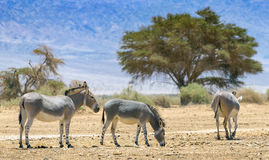 Family of Somali wild donkey Equus africanus. This species inhabits nature reserve near Eilat city, Israel royalty free stock image