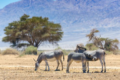 Family of Somali wild donkey Equus africanus. This species inhabits nature reserve near Eilat city, Israel stock photography