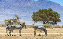 Family of Somali wild donkey Equus africanus. This species inhabits nature reserve near Eilat city, Israel royalty free stock photography