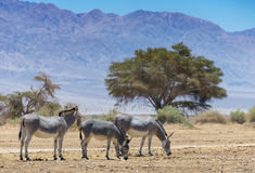 Family of Somali wild donkey Equus africanus. This species inhabits nature reserve near Eilat city, Israel Stock Images