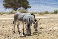 Family of Somali wild donkey Equus africanus. This species inhabits nature reserve near Eilat city, Israel stock photos
