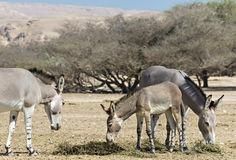 Family of Somali wild donkey in Israeli nature reserve-Hai-Bar. Somali wild donkey (Equus africanus) is the forefather of the domestic asses. This species is Royalty Free Stock Photos