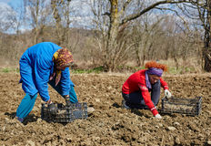 Family sowing potatoes Stock Photos