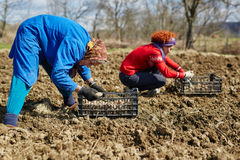 Family sowing potatoes Stock Photo