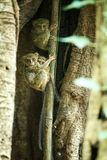 Family of spectral tarsiers, Tarsius spectrum, portrait of rare endemic nocturnal mammals, small cute primate in large ficus tree. In jungle, Tangkoko National stock image