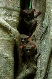 Family of spectral tarsiers, Tarsius spectrum, portrait of rare endemic nocturnal mammals, small cute primate in large ficus tree. In jungle, Tangkoko National stock photos