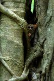 Family of spectral tarsiers, Tarsius spectrum, portrait of rare endemic nocturnal mammals, small cute primate in large ficus tree. In jungle, Tangkoko National stock images