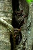 Family of spectral tarsiers, Tarsius spectrum, portrait of rare endemic nocturnal mammals, small cute primate in large ficus tree. In jungle, Tangkoko National royalty free stock image
