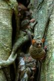 Family of spectral tarsiers, Tarsius spectrum, portrait of rare endemic nocturnal mammals, small cute primate in large ficus tree. In jungle, Tangkoko National stock photography