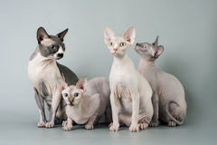Family sphynx Stock Images