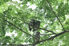 Owl family. A family of spotted owls is perching on tree branches stock photos