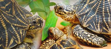 A family of Star Tortoise Having a tête-à-tête. A family of Star Tortoise discussing over a leaf. This exotic tortoise is found in India and Srilanka and is Stock Photos