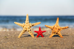 Family starfish on the beach Royalty Free Stock Image