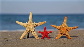 Family starfish on the beach. Three starfish on the beach in summer stock video footage