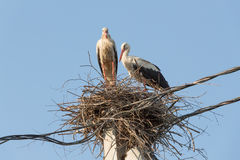 Family of storks Stock Images