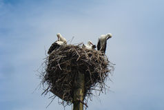 Family of storks on lamppost. Family of storks in the nest on lamppost Royalty Free Stock Photos