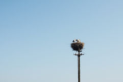 A family of storks in a large nest. Royalty Free Stock Images