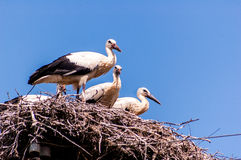 Family of storks Royalty Free Stock Photos
