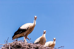 Family of storks Royalty Free Stock Photo