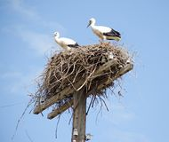 Family of storks in the nest stock photography