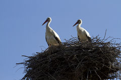 Family of storks in the nest. Storks in the nest against the sky Royalty Free Stock Image