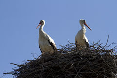 Family of storks in the nest close-up. Storks in the nest against the sky Royalty Free Stock Images