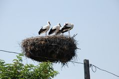 Family of storks in the nest on the electric pole royalty free stock image