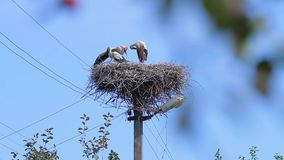 Family of storks. Storks in the nest preening its feathers. Family of storks stock video