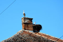 A family of storks in the nest Royalty Free Stock Image