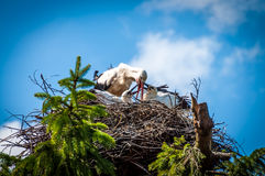 Family of storks standing in the nest in the sunny day. With blue sky in the background stock images