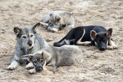 Family of stray dogs Stock Photography
