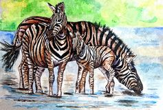 A family of striped zebras on a watering hole. African motives. Painting wet watercolor on paper. Naive art. Abstract art. stock illustration
