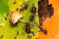 Family supper of ants. Family supper, ants eating mushroom Royalty Free Stock Photo