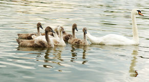 Family swan. Swan and her chicks swimming on the lake Stock Images