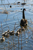 Family swan royalty free stock images
