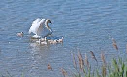 Family swan. Swan with cute little swans on lake Stock Image