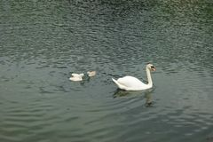 Swan family swimming on a lake royalty free stock photos