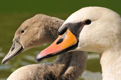 Family swan - mother and daughter Stock Images