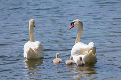 Family of Swan. Swimming in the River Royalty Free Stock Photography