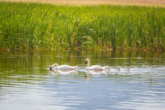 Family of Swan Swimming in the Water. Stock Photo
