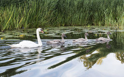 Family swan in the water Stock Photo