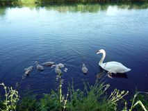 Family of Swan Stock Image