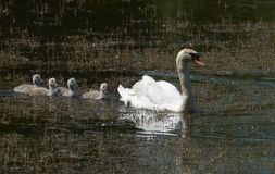 Family of swans Stock Images