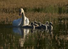 Family of swans Stock Image