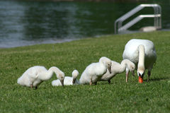 Family of swans Royalty Free Stock Photo