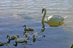 Family of Swans. Adult white swan leading baby swans Stock Image