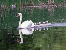 Family of Swans. Adult white mute swan leading baby swans across the pond Stock Images