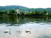 Family of swans. Adult and baby swans on a river with hills on the background Royalty Free Stock Images